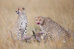 Cheetah Kill (Burrard-Lucas Wildlife Photography) Tags: cats blood kill kenya eating mara masai cheetahs wildebeest predators
