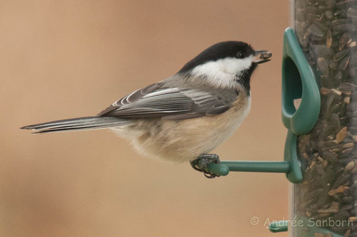 Black-capped Chickadee-5.jpg