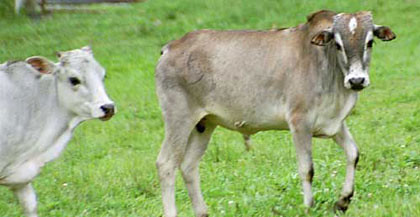 DTE cow