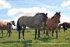 "Cavalo_Crioulo_Foto_Marcio_Andre Teixeira_Premiere_Age (501) copy (Premiere Age) Tags: brazil horses horse southamerica brasil america criollo caballo cheval caballos cavalos mustang pferde cavalli cavallo cavalo gauchos pferd riograndedosul hest brésil chevaux paard gaucho cavall américadosul häst اسب gaúcho amériquedusud meridionale sudamérica suramérica américadelsur südamerika crioulo criollos конь حصان kůň άλογο baguales at americadelsud crioulos cavalocrioulo kalë chwal cimarrones mesteños iayayam yamaiay хорс коњот kaitá ""cavalocrioulo"" ""cavalogaúcho"" ""cavalodors"" ""éguacrioula"" ""potrocrioulo"" ""cavalodoriograndedosul"" ""cavaloscrioulos"" ""caballocriollo"" ""caballoscriollos"" ""cavalocampeiro""""potrocrioulo""""horsecrioulo""gaúchos ""freiodeouro"" ""cavaloargentino"" ""cavalouruguaio"" ""cavalochileno"" ""caballochileno""perd"