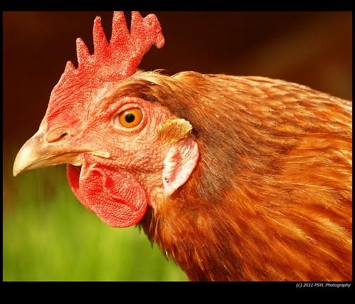 Domestic Chicken (Gallus gallus domesticus)