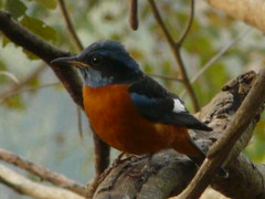P1150373 (babsybou) Tags: travel india birds silent watching kerala du valley yatra sud inde attapadi birdswatching babsybou malleeshwaramjunglelodge pettickal