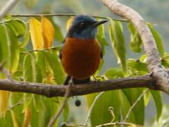P1150379 (babsybou) Tags: travel india birds silent watching kerala du valley yatra sud inde attapadi birdswatching babsybou malleeshwaramjunglelodge pettickal