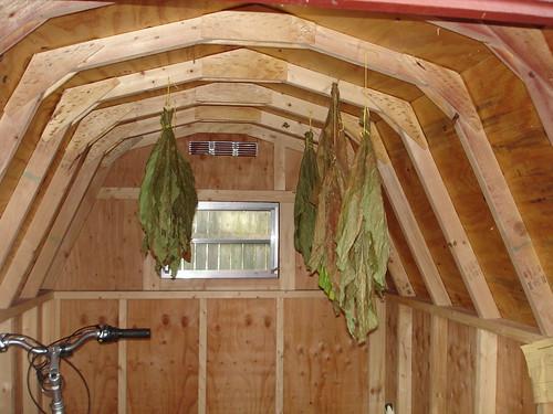 hanging tobacco leaf