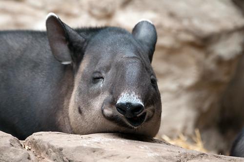 Tapir Funny Face