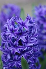 blog1000flowers ヒヤシンス