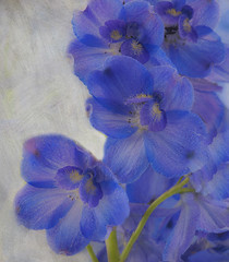 Spring's Beginnings (Lisa Gordon Photography) Tags: macro delphinium 105mm floralfantasy absoluteblue nikond300 tatot magicunicorn letaflowerbloomforyou flypapertextures flowersoftheworldlevel1