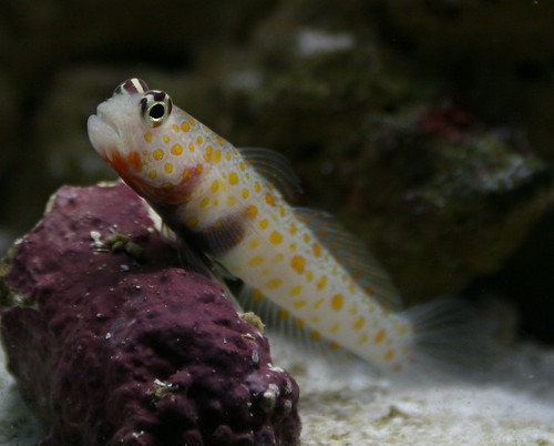 diamond watchman goby. This is the shrimp goby I have