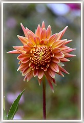 Baby Dahlia (W J (Bill) Harrison) Tags: dahlia orange flower nature beauty canon death petals cancer canoneos canoneos50d wjbillharrison