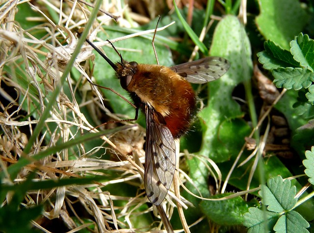 24124 - Dotted Bee-fly (Bombylius discolor)