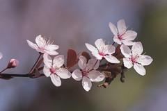 Cherry Blossom Festival at Macon, Georgia (Gladwin Johnson) Tags: flowers cherry spring blossoms