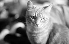 Bobby the cat (Nils Kristofer Gustafsson) Tags: blackandwhite bnw ishootfilm retro rollei 400s lomo lomography sweden rebro keepfilmalive filmisnotdead filmphotography film rodina adonal m42 super takumar 50mm
