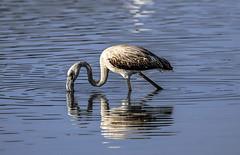 Flamingo - flamenco (ibzsierra) Tags: flamenco flamingo ibiza eivissa baleares canon 7d 2100400 is usm ave bird oiseau pajaro salinas parque natural