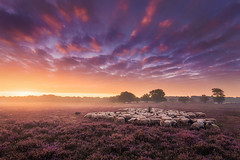 The Shepherd (Transcontinenta) Tags: albertdros atmosphere dutch fog heather heide mist morning netherlands purple sheep shepherd sky sunrise sunset samyangaf14mmf28