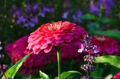 Zinnia (Sandra Kirly Pictures) Tags: zinnia flowers flower nature summer outdoor budapest hungary