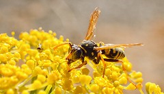 Little Brother (clear_eyed_man) Tags: proportion scale perspective wasp microscope macro tg4 yellowjacket olympus