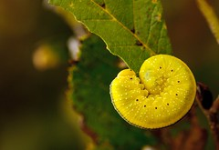 Caterpillar (Karen_Chappell) Tags: caterpillar green nature macro larva elmsawfly yellow cimbexamericana leaf newfoundland nfld canada canonef100mmf28usmmacro sawfly