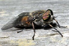 Horsefly at Woodwalton Fen   DSC_5667 (Cladoniophile) Tags: insects flies horseflies woodwaltonfennnr