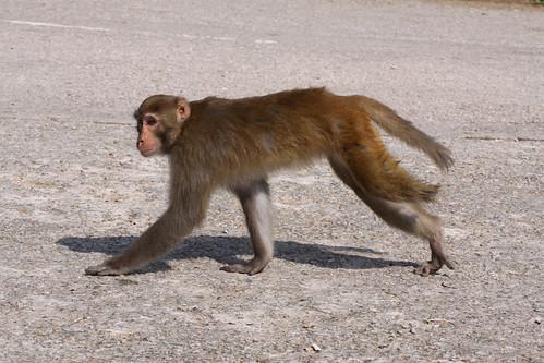 Three-legged monkey