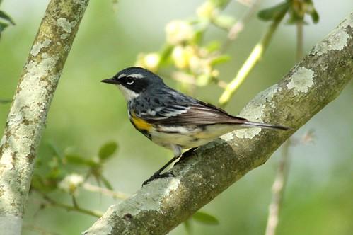 Yellow-rumped Warbler - 4/16/2010