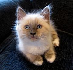 Ragdoll Kitten (jurvetson) Tags: snowflake cute eye cat kitten chat play ragdoll jewel chatte chaton