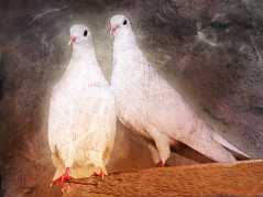 """Come out of the circle of time And into the circle of love."" Rumi (AlicePopkorn) Tags: white love time creativecommons timeless doves rumi alicepopkorn magicunicornmasterpiece artuniinternational"