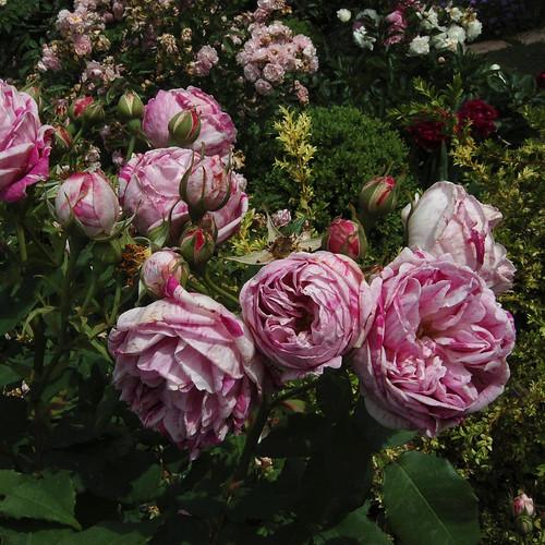 "Rosa ""Honorine de Brabant"""