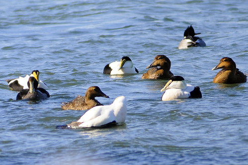 common eiders and a merganser cape jan