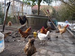 Symbiosis - Tea (Apple and Water) Break - Spring sowing (holistic.hen) Tags: france gardening chicks normandie sebright cockerel poules frizzle jardinage organicgarden jardinbio