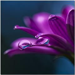 maneggiare con cura... (gianmarco giudici) Tags: flower macro reflection drops fiore riflessi gianmarcogiudici mygearandme rememberthatmomentlevel1 rememberthatmomentlevel2