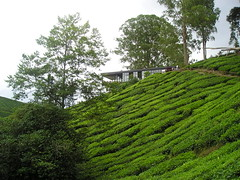 Boh Tea Centre (alongbc) Tags: trip travel green nature highlands tea places olympus cameron malaysia greenery cameronhighlands pahang boh d560z x200 bohteacentre sungaipalas c350z