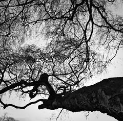 Bogas (193/365) (pinterpi) Tags: bw white black tree canon project eos day cologne köln days 365 ff hürth fa 450d ág pinterpi debetegvagyokp képetmegugyemuszáj lehetettvolnaszebbenvágni