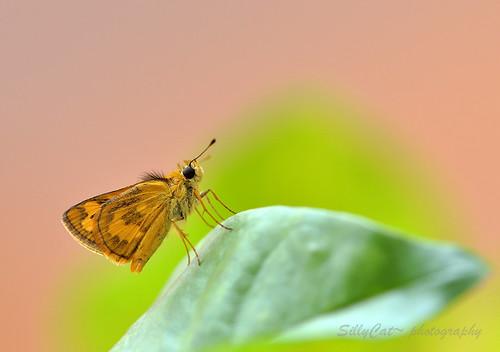 弄蝶 - Hesperiidae-1024