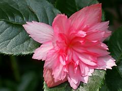 rosegonie (adampauli) Tags: pink rose sommer balkon pflanze rosa grn blume makro blatt stern blte garten nahaufnahme effe begonie gefllt augenhhe fokussiert schiefblatt hohequalitt