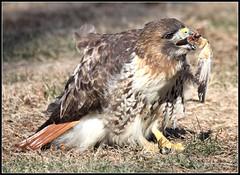 """Redtail Hawk"" (jackhawk9) Tags: nature canon newjersey ngc picnik raptors redtailhawk edwinbforsythenationalwildliferefuge oceanville jackhawk9zenfoliocom"