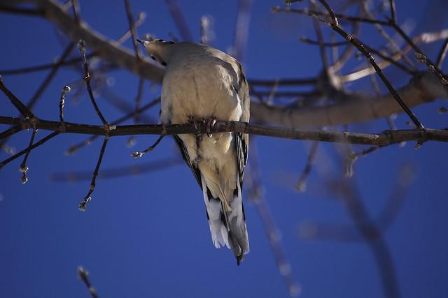 craning dove