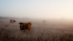PAISAJE VACUNO HUELAGA CACERES (MOSHULUS) Tags: fog landscape cow paisaje niebla vaca caceres huelaga