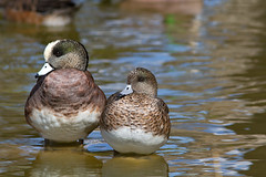 IMG_4732 American Wigeon pair (lois manowitz) Tags: ducks wigeons supershot supershots ftlowellparktucsonarizonabirds