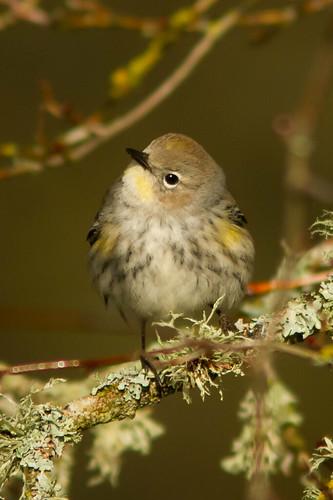 Audobon's Warbler