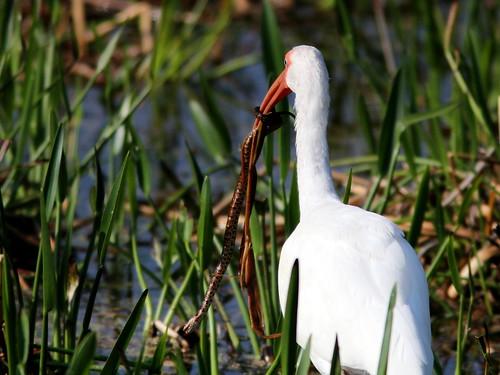 White Ibis with snake 2-20110220