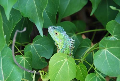 lizard near my car...