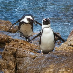 Catch me if you can! (andiwolfe) Tags: ocean africa bird southafrica penguin coast stonypoint bettysbay africanpenguins