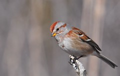 American Tree Sparrow (mbaglole) Tags: cambridge ontario tree bird creek nikon riverside birding sb600 300mm american sparrow nikkor f4 americantreesparrow cambridgeontario tc14 nikon300mm nikonflash sb600flash 14xteleconverter nikon300mmf4 nikonsb600flash nikonteleconverter nikon14xteleconverter riversidecreek