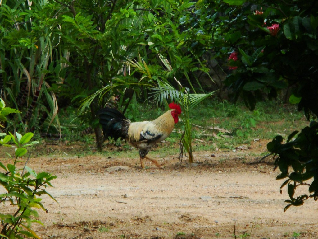 The World's most recently posted photos of chicken and