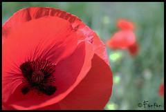 AMAPOLA #1 (Fänfän) Tags: red naturaleza flower nature fleur rouge rojo flor poppy coquelicot amapola fänfän ltytr1