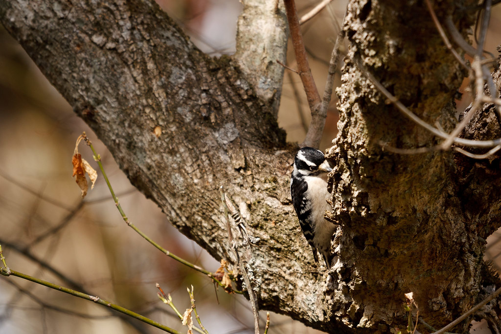 Downy Woodpecker #2