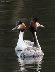 Love is in the Air,Great Crested Grebes Courtship Dance. Explored (claylaner) Tags: park bird water cheshire country ngc backlit etherow greatcrestedgrebe podicepscristatus compstall mygearandme