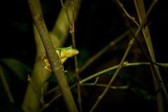 IMG_3292 (jasonkao73) Tags: frog