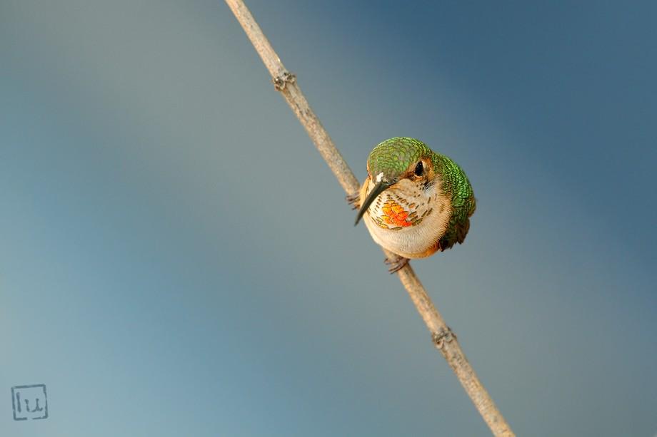 Allen's Hummingbird 030211-1