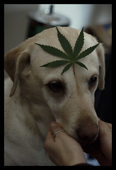 Nice cap (kekoh) Tags: dog pet hoja canon 50mm leaf weed perro mascota marihuana 1000d xenna